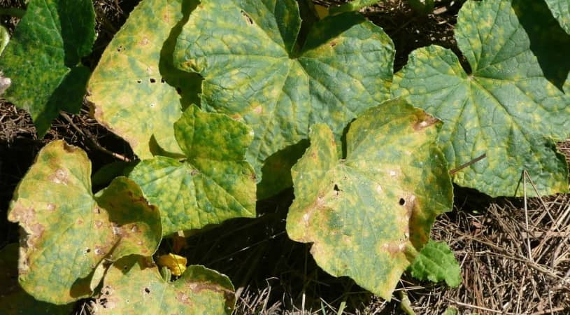 Color of Cucumber Turns Yellow?