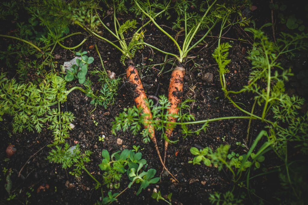 What Does a Carrot Sprouts Look Like?