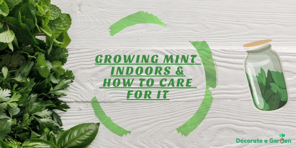 Growing Mint Indoors & How To Care For It